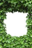 Ponga verde el marco de las hojas de la hiedra Imagenes de archivo