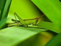 Ponga verde el saltamontes en la planta Fotos de archivo