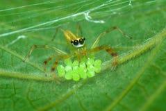 Ponga verde la araña con los huevos Imagen de archivo