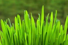 Ponga verde la avena Imágenes de archivo libres de regalías