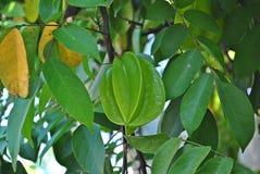 Ponga verde la fruta de estrella Fotografía de archivo