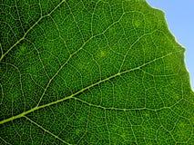 Ponga verde la hoja. Foto de archivo libre de regalías