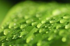 Ponga verde la hoja con gotas de rocío de la mañana. Fotografía de archivo libre de regalías