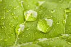 Ponga verde la hoja con las gotitas de agua Fotografía de archivo libre de regalías