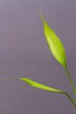 Ponga verde la hoja de bambú fresca Foto de archivo