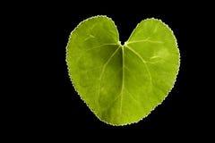 Ponga verde la hoja del corazón Imagen de archivo