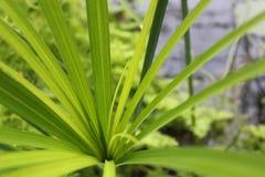 Ponga verde la hoja del papiro Foto de archivo libre de regalías