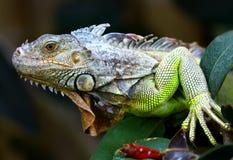 Ponga verde la iguana Foto de archivo libre de regalías