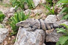 Ponga verde la iguana Fotos de archivo libres de regalías