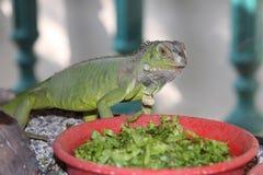 Ponga verde la iguana Imágenes de archivo libres de regalías