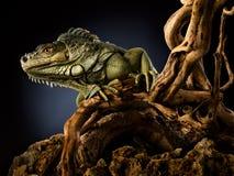 Ponga verde la iguana en la ramificación Imagen de archivo