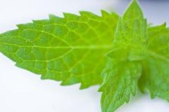 Ponga verde la licencia de menta Fotos de archivo
