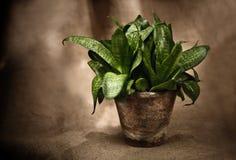 Ponga verde la planta casera fotos de archivo