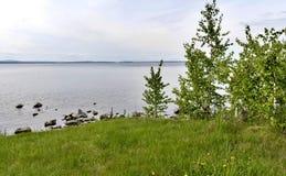 Ponga verde la playa hierba-cubierta con los abedules jovenes en el primero plano Imagen de archivo