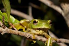 Ponga verde la rana de árbol fotografía de archivo libre de regalías