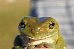 ponga verde la rana de árbol Imagen de archivo