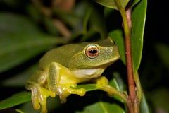Ponga verde la rana de árbol en las hojas Foto de archivo libre de regalías