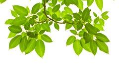 Ponga verde las hojas Fotografía de archivo