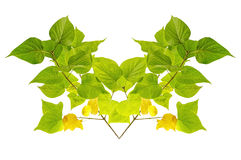 Ponga verde las hojas aisladas Fotografía de archivo