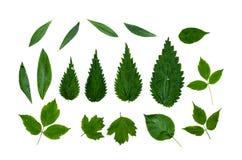 Ponga verde las hojas aisladas Fotografía de archivo libre de regalías