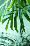 Ponga verde las hojas con gotas del agua Foto de archivo libre de regalías