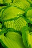 Ponga verde las hojas con gotas del agua Imagenes de archivo