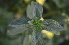 Ponga verde las hojas de menta imagen de archivo libre de regalías