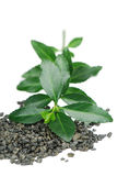 Ponga verde las hojas de té Imágenes de archivo libres de regalías