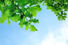 Ponga verde las hojas del roble Fotografía de archivo libre de regalías