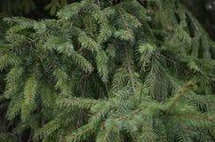 Ponga verde las ramificaciones del pino Foto de archivo