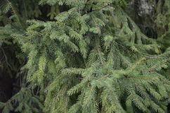 Ponga verde las ramificaciones del pino Foto de archivo libre de regalías