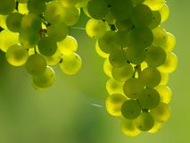 Ponga verde las uvas de vino fotos de archivo