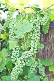 Ponga verde las uvas de vino Foto de archivo libre de regalías