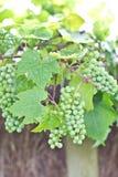 Ponga verde las uvas de vino Imagenes de archivo