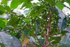 Ponga verde los granos de café Fotografía de archivo libre de regalías