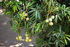 Ponga verde los mangos en el árbol Imagen de archivo libre de regalías