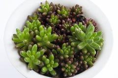 Ponga verde los succulents Fotos de archivo libres de regalías