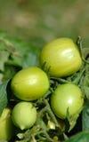 Ponga verde los tomates Foto de archivo libre de regalías
