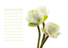 Ponga verde tres flores de loto florecen aislado en el fondo blanco Imágenes de archivo libres de regalías
