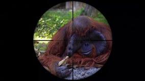 Pongo de singe d'orang-outan vu dans la portée de fusil d'arme à feu Chasse de faune Pocher mis en danger, vulnérable, et menacé banque de vidéos
