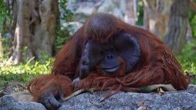 Pongo Pygmaeus обезьяны орангутана Bornean видеоматериал
