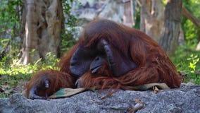 Pongo Pygmaeus обезьяны орангутана Bornean акции видеоматериалы