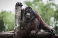 Pongo pygmaeus Lizenzfreies Stockfoto