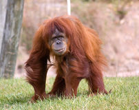 Pongo pygmaeus Royalty Free Stock Image