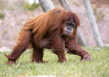 Pongo pygmaeus Royalty Free Stock Photography