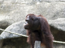 Pongo pygmaeus. Royalty Free Stock Photo