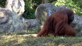 Pongo Pygmaeus del mono del orangután de Bornean metrajes