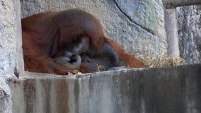 Pongo Pygmaeus del mono del orangután de Bornean almacen de video