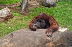 Pongo pygmaeus monkey. In Moscow zoo, Russia Stock Image