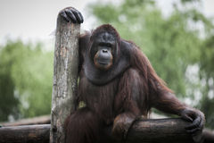 Pongo pygmaeus Royalty Free Stock Photo